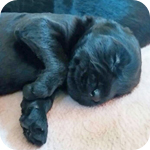 ジャイアントシュナウザー ブラック 子犬販売の専門店 AngelWan 横浜