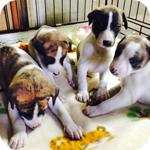 ウィペット ホワイトブリンドル オス 子犬販売の専門店 AngelWan 横浜