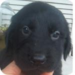 フラットコーテッドレトリバー ブラック 子犬販売の専門店 AngelWan 横浜