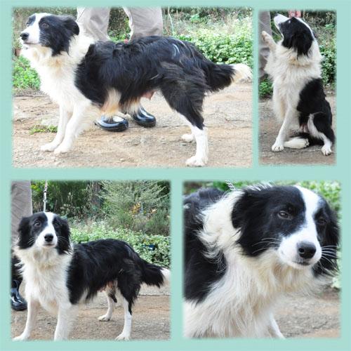 ボーダーコリー 母犬 ブラック&ホワイト 子犬販売の専門店 AngelWan 横浜