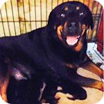 ロットワイラー ブラック&タン メス 子犬販売の専門店 AngelWan 横浜