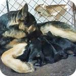 ジャーマンシェパードドッグ 子犬販売の専門店 AngelWan 横浜