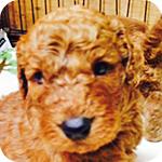 スタンダードプードル アプリコット メス 仔犬販売の専門店 AngelWan 横浜