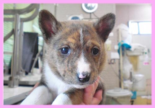 バセンジー メス 子犬販売の専門店 AngelWan 横浜