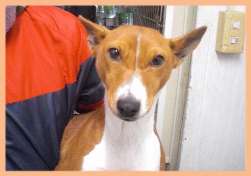 バセンジー 母犬 子犬販売の専門店 AngelWan 横浜