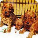 スタンダードプードル レッド オス 子犬販売の専門店 AngelWan 横浜