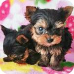 ヨークシャーテリア 子犬販売の専門店 AngelWan 横浜