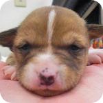 バセンジー レッド&ホワイト メス 子犬販売の専門店 AngelWan 横浜