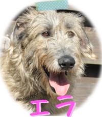 アイリッシュウルフハウンド 千葉犬舎 エラ 子犬販売の専門店 AngelWan 横浜