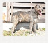 アイリッシュウルフハウンド 千葉犬舎 リース 子犬販売の専門店 AngelWan 横浜