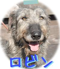 アイリッシュウルフハウンド 千葉犬舎 ロビン 子犬販売の専門店 AngelWan 横浜
