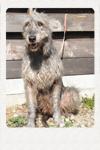 アイリッシュウルフハウンド 千葉犬舎 ロッシ 子犬販売の専門店 AngelWan 横浜
