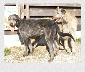 アイリッシュウルフハウンド 千葉犬舎 子犬販売の専門店 AngelWan 横浜