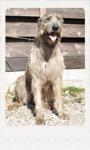 アイリッシュウルフハウンド 千葉犬舎 ベルティゴ 子犬販売の専門店 AngelWan 横浜