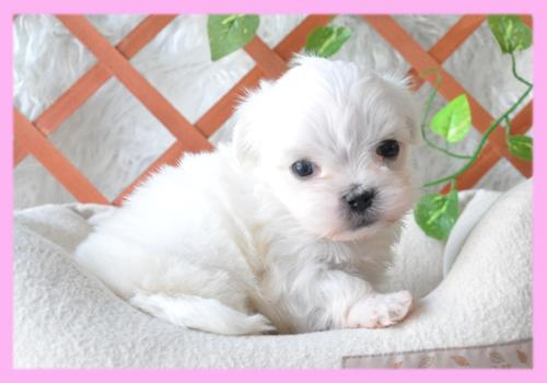 マルチーズ メス 子犬販売の専門店 AngelWan 横浜