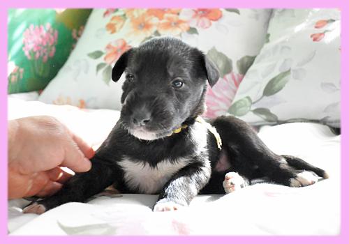 アイリッシュウルフハウンド メス ブリンドル 子犬販売の専門店 AngelWan 横浜