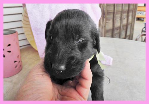 フラットコーテッドレトリバー メス ブラック 子犬販売の専門店 AngelWan 横浜