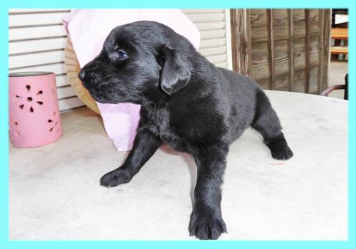 フラットコーテッドレトリバー オス ブラック 子犬販売の専門店 AngelWan 横浜