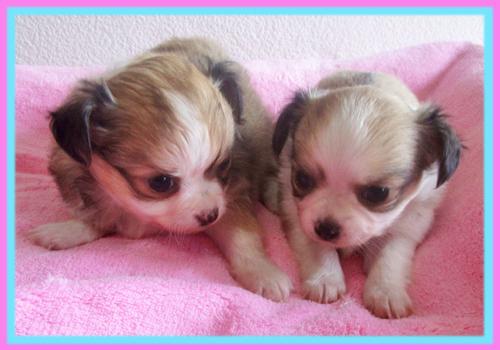 チワワ フォーン&ホワイト 子犬販売の専門店 AngelWan 横浜