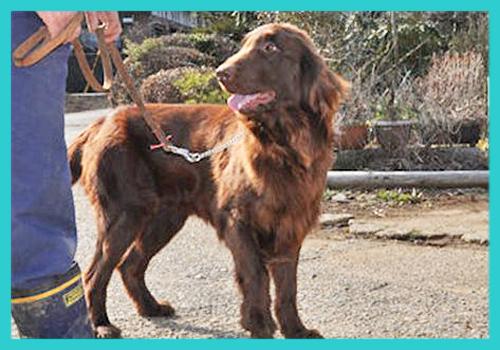 フラットコーテッドレトリバー 父犬 子犬販売の専門店 AngelWan 横浜