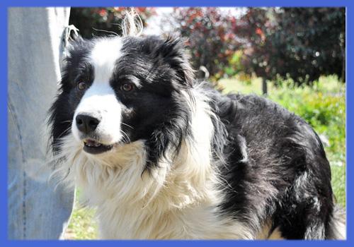 ボーダーコリー ブラック&ホワイト 父犬 子犬販売の専門店 AngelWan 横浜