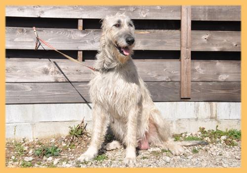アイリッシュウルフハウンド 母犬 子犬販売の専門店 AngelWan 横浜
