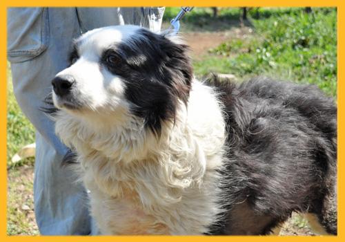 ボーダーコリー ブラック&ホワイト 母犬 子犬販売の専門店 AngelWan 横浜