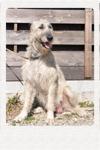 アイリッシュウルフハウンド 千葉犬舎 ルイス 子犬販売の専門店 AngelWan 横浜