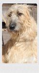 アイリッシュウルフハウンド 千葉犬舎 ルナ 子犬販売の専門店 AngelWan 横浜