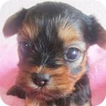 ヨークシャーテリア メス 子犬販売の専門店 AngelWan 横浜