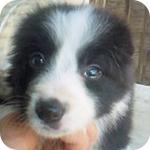 ボーダーコリー ブラック&ホワイト 子犬販売の専門店 AngelWan 横浜