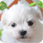 マルチーズ オス 子犬販売の専門店 AngelWan 横浜