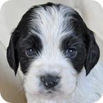 イングリッシュコッカースパニエル ブラック&ホワイト メス 子犬販売の専門店 AngelWan 横浜