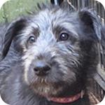 アイリッシュウルフハウンド ブラック メス 子犬販売の専門店 AngelWan 横浜