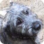 アイリッシュウルフハウンド ブリンドル 子犬販売の専門店 AngelWan 横浜
