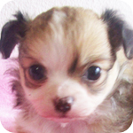 チワワ フォーン&ホワイト オス 子犬販売の専門店 AngelWan 横浜