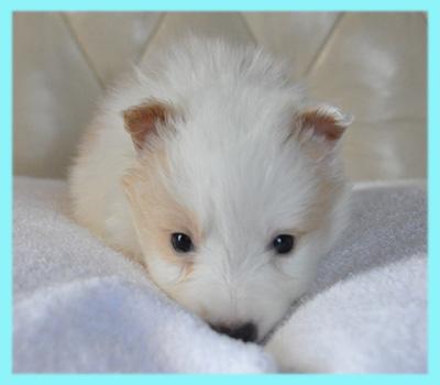 ボーダーコリー レッド&ホワイト オス 子犬販売の専門店 AngelWan 横浜