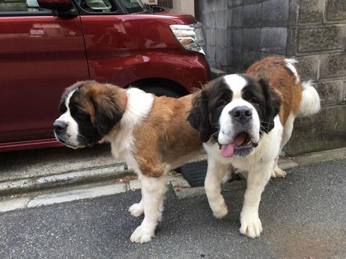セントバーナード ブリーダー 子犬販売の専門店 AngelWan 横浜