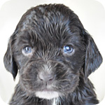 イングリッシュコッカースパニエル チョコレート メス 子犬販売の専門店 AngelWan 横浜