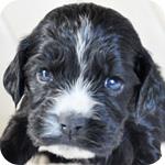 イングリッシュコッカースパニエル ブラック メス 子犬販売の専門店 AngelWan 横浜