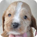 イングリッシュコッカースパニエル レッド オス 子犬販売の専門店 AngelWan 横浜