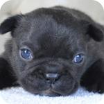 フレンチブルドッグ ブリンドル オス 子犬販売の専門店 AngelWan 横浜