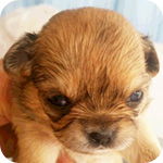 チワワ レッド メス 子犬販売の専門店 AngelWan 横浜
