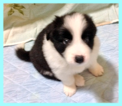 ボーダーコリー ブラック&ホワイト オス 子犬販売の専門店 AngelWan 横浜