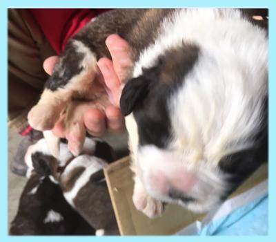 セントバーナード ブラウン&ホワイト オス 子犬販売の専門店 AngelWan 横浜