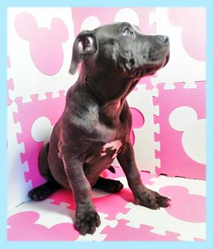 アメリカンピットブルテリア ブルー オス 子犬販売の専門店 AngelWan 横浜