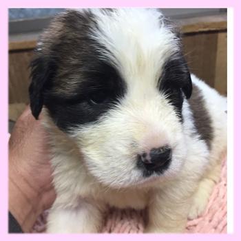 セントバーナード メス 子犬販売の専門店 AngelWan 横浜
