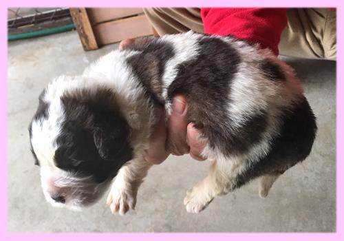セントバーナード ブラウン&ホワイト メス 子犬販売の専門店 AngelWan 横浜