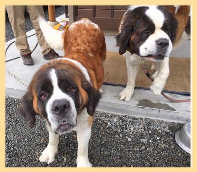 セントバーナード 両親 子犬販売の専門店 AngelWan 横浜