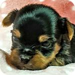 ヨークシャーテリア オス 子犬販売の専門店 AngelWan 横浜